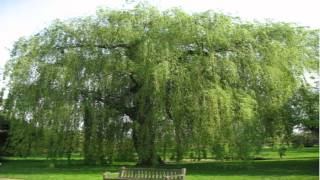 Weeping Willow Trees for sale $3.25 at Tn Online Tree Nursery