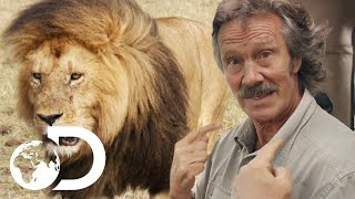 Download Territorial Male Lion Asserts Dominance Over His Pride | Big Cat Tales Mp3 and Videos