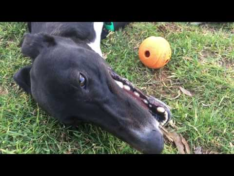 Greyhounds make the best pets!