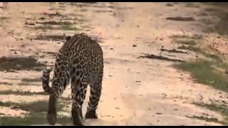 Leopard - dzika przyroda Afryki ,,Safari