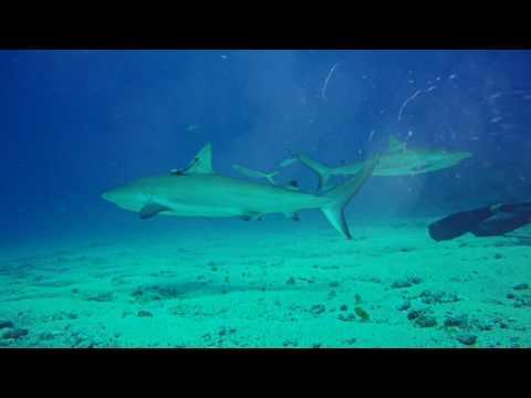 Ocean Explorers Shark Dive St. Marteen