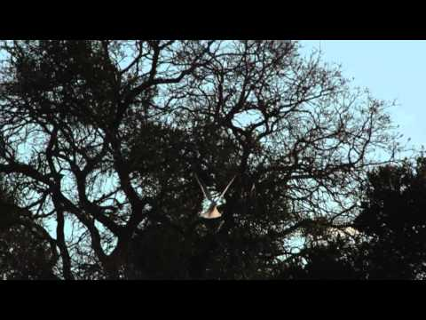 White-tailed kite hawk on the hunt - part II