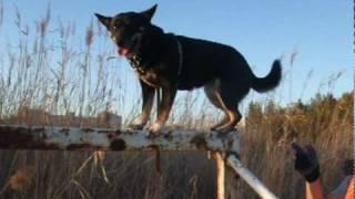 ninjya dog 〈忍者犬〉なちびっこサラ! 今度はサッカーゴールを制覇し...
