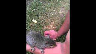 Baby squirrel seems abnormally friendly!