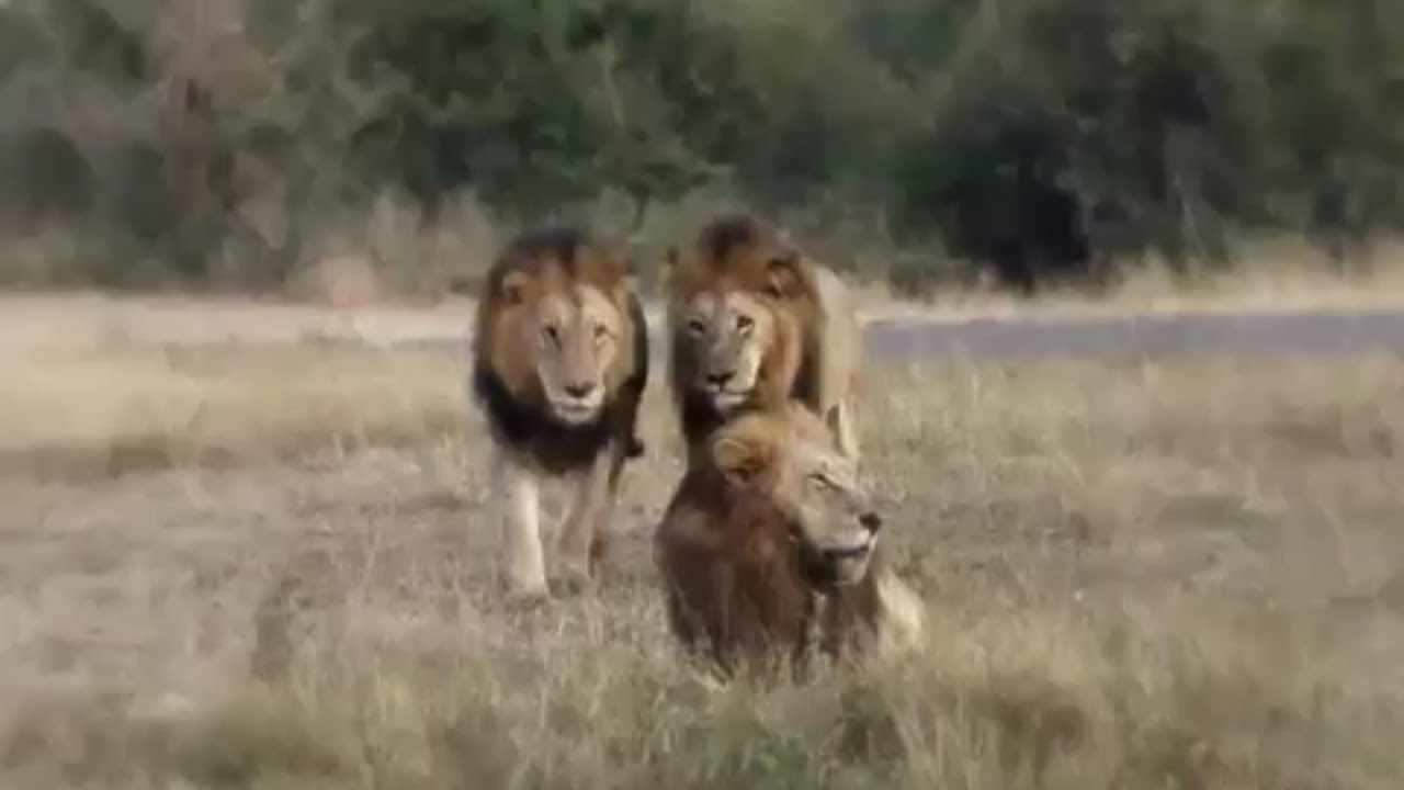 Kings Of Sabi Sands 🔱 Majingilane Male Lions