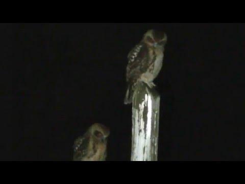 Australian Boobook Owls