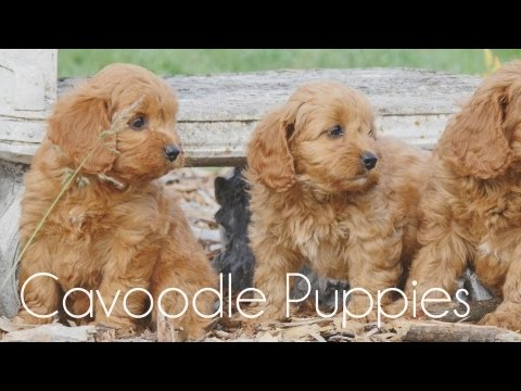 Cavoodle puppies running around!!
