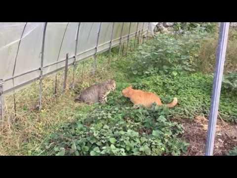 Cat Fight 猫のケンカ 「ビニールハウス死闘編」