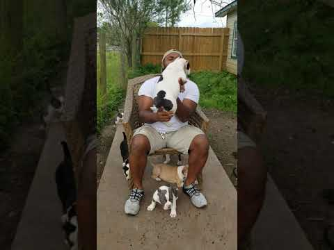 American Bully Puppies For Sale PT. 2