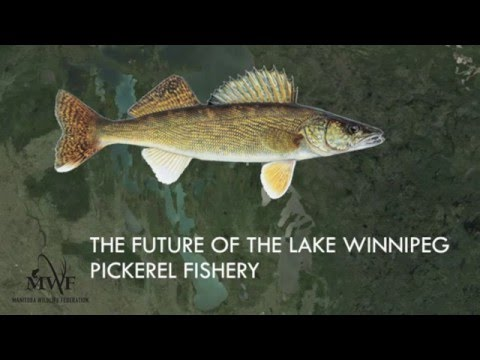 Lake Winnipeg - A Fishery In Decline