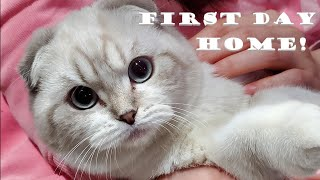 Scottish Fold Kitten's First Day Home!