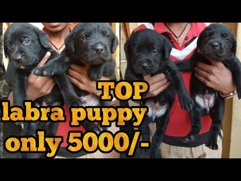 Labrador Puppy For Sale Youtube