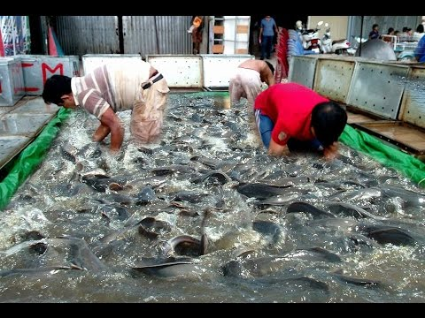 Most Amazing Catching Fish by Hand in Cambodia - Select Snakehead Fish for Sale in Market