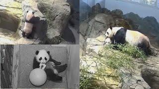 2021-01-30 Xiao Qi Ji ~ Our Jolly, Jubilant, Joyful Cub!