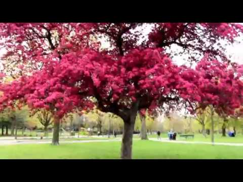 Spectacular tree with lots of pink flowers crabapple tree youtube spectacular tree with lots of pink flowers crabapple tree mightylinksfo