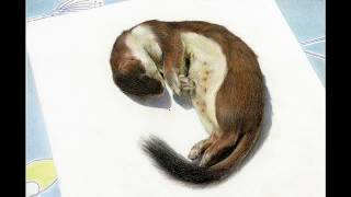 How to draw a Stoat - by Nick Day