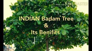 INDIAN Badam Tree & Its Uses,benefits Tamil, Terminalia Catappa, Indian Almond,
