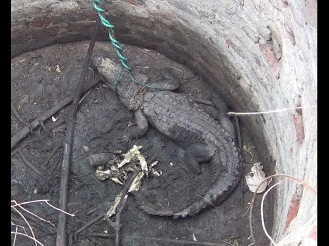This crocodile rescued from well !