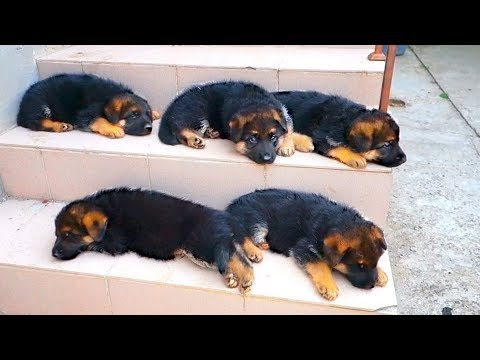 Очаровашки! Cute German Shepherd Puppies. Щенки немецкой овчарки.