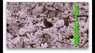 【Rolling TV】2018 花鳥桜