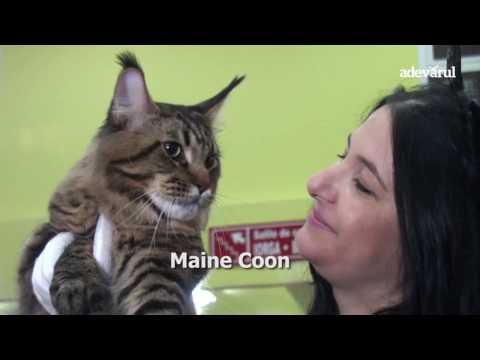 Expoziţia de pisici SofistiCAT