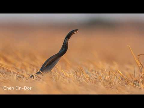צילום טבע | קרב נחשים - זעמנים שחורים | wildlife photography | large whip snakes struggling