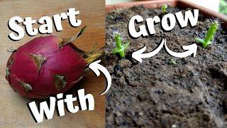 Growing Dragon Fruit Fŗom Seed
