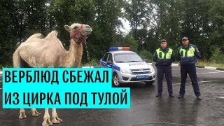 Верблюд сбежал из цирка под Тулой