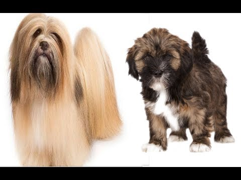 Lhasa apso puppies for sale The Amazing Toy breed || Wholsale and Retail || 9711696640