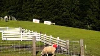 牧羊犬の羊追い.