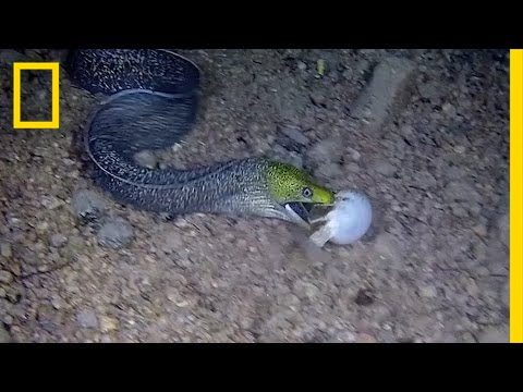 Watch: Eel Swallows a Pufferfish Whole | National Geographic