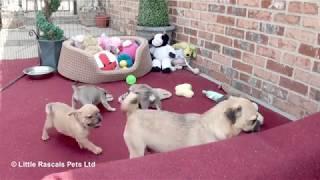 Loving 3/4 Pug Puppies (Jugs)