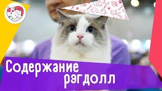 5 особенностей содержания кошек породы рэгдолл