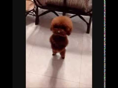 French Poodle Puppy Dances to Cuban Music Salsa Cumbia