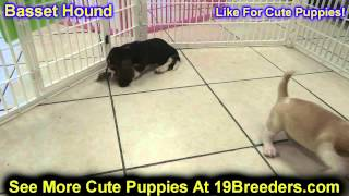 Basset Hound, Puppies, For, Sale, In, Lansing, Michigan, Mi, Oakland, Macomb, Kent, Genesee, Washten