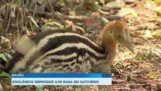 Zoológico de Bauru consegue reproduzir ave rara em cativeiro