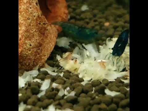 2 zwangere blauwe vrouwtjes garnalen en babygarnalen zijn aan het smikkelen en smullen.