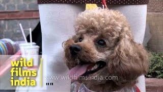 Poodles Day Out At Ansal Plaza, Delhi