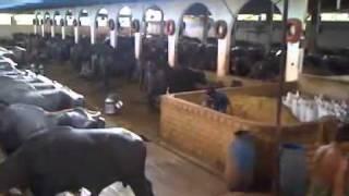 Shaukat Dairy Farm