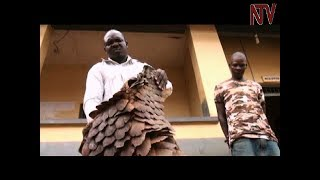 Gulu Police arrests politician found with pangolin scales