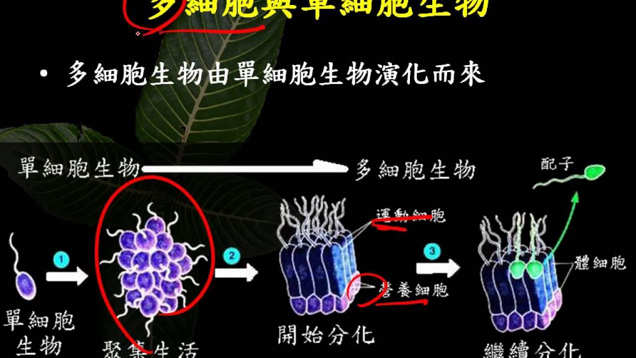 10402選修生物1 1 08單細胞生物至多細胞生物二簡 - YouTube