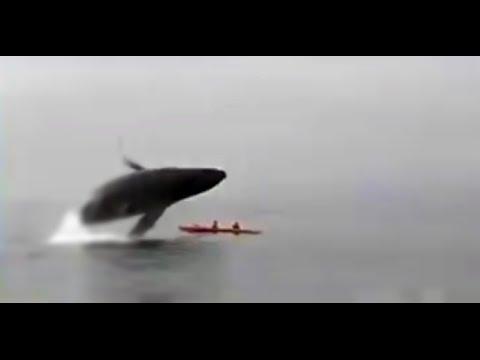 Kajakfahrer von Wal versenkt   Wal Touristen Buckelwal