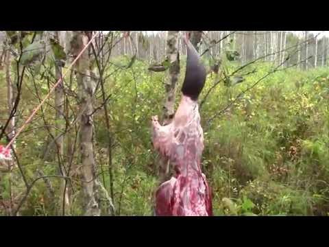 Капкан с приманкой, ловлю бобра и разделываю в лесу.