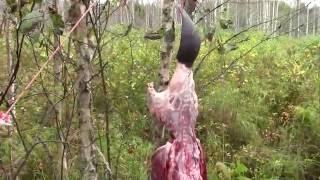Как разделать бобра в лесу