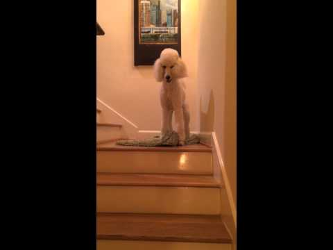 Crazy poodle stair stalks toy.