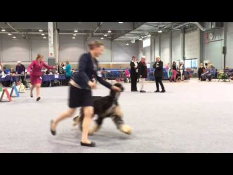 Lahti International Dog Show 26.3. 2017 - Afghan Hounds