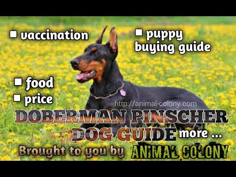 DOBERMAN PINCHER DOG GUIDE || FOOD || PUPPY BUYING || VACCINATION|| PRICE || MANY MORE ✅