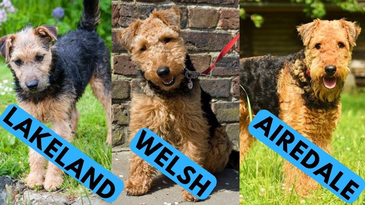 Airedale Vs Welsh Lakeland Terrier