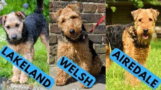 Airedale vs Welsh vs Lakeland Terrier Difference