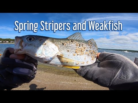 Spring Stripers And Weakfish Long Island NY [4K60]